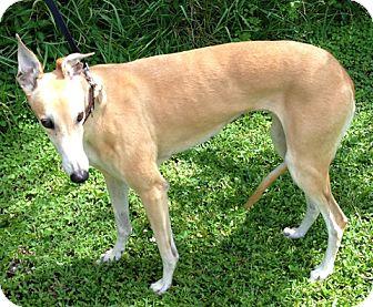 Greyhound Dog for adoption in Tampa, Florida - Cher