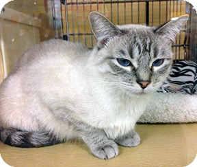 Siamese Cat for adoption in Lancaster, California - Mai