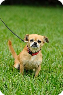 Pug/Chihuahua Mix Dog for adoption in Wethersfield, Connecticut - Precious