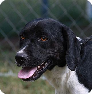 Pointer/Hound (Unknown Type) Mix Dog for adoption in Harmony, Glocester, Rhode Island - Miss Madeline Muttley