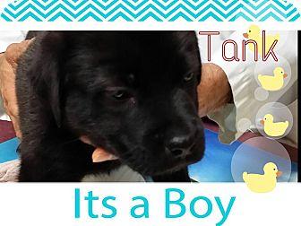 Labrador Retriever/Mastiff Mix Puppy for adoption in Chilliwack, British Columbia - TANK