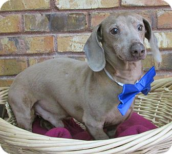 Dachshund Dog for adoption in Benbrook, Texas - Clyde