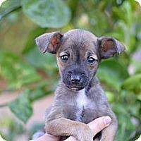 Adopt A Pet :: Stewie - Los Angeles, CA