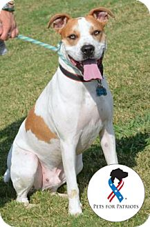 Pit Bull Terrier Mix Dog for adoption in Killeen, Texas - Kal