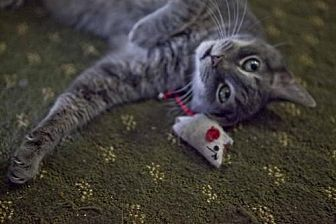Domestic Shorthair Cat for adoption in Midway City, California - Chance