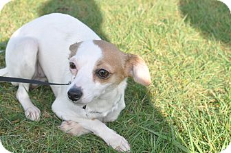 Chihuahua/Italian Greyhound Mix Dog for adoption in Tumwater, Washington - Lilly