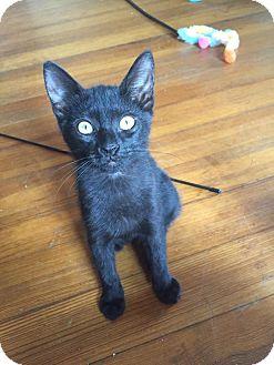 Domestic Shorthair Kitten for adoption in Middletown, Rhode Island - Boots