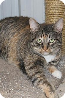 Domestic Shorthair Cat for adoption in Hamilton, Ontario - Breeze