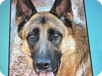 German Shepherd Dog Dog for adoption in Los Angeles, California - MAVERICK VON MOLIN