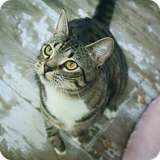 Domestic Shorthair Cat for adoption in St. Francisville, Louisiana - Alfie