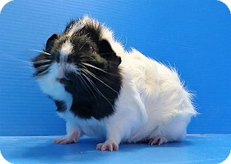 Guinea Pig for adoption in Lewisville, Texas - Neville