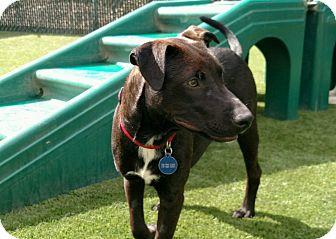 Labrador Retriever/Border Collie Mix Puppy for adoption in Colorado Springs, Colorado - Cricket