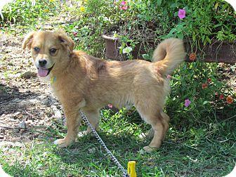 Golden Retriever/Corgi Mix Puppy for adoption in Hartford, Connecticut - REECE