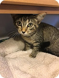 Domestic Shorthair Kitten for adoption in Hanna City, Illinois - Gretchen