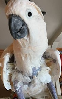 Cockatoo for adoption in Asheville, North Carolina - Coconut