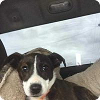 Adopt A Pet :: TOOTS - McCurtain, OK