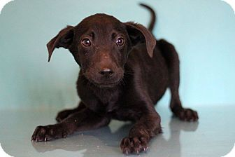 Labrador Retriever Puppy for adoption in Waldorf, Maryland - Binky