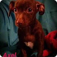 Adopt A Pet :: Axel - San Antonio, TX