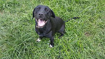 Labrador Retriever/Retriever (Unknown Type) Mix Dog for adoption in Sugar Land, Texas - Bishop