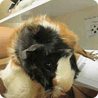 Adopt A Pet :: *Urgent* Laya - Fullerton, CA