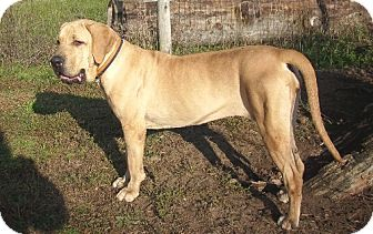 Fila Brasileiro/Mastiff Mix Dog for adoption in Ontario, Ontario - Roxy 'Adopted'