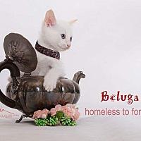 Adopt A Pet :: Beluga - Sherman Oaks, CA