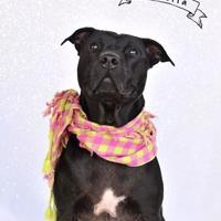 Adopt A Pet :: Isabella - Cooperstown, NY