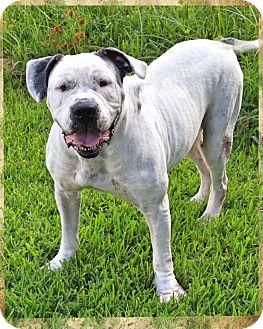 Mastiff/American Bulldog Mix Dog for adoption in Conroe, Texas - Eeyore