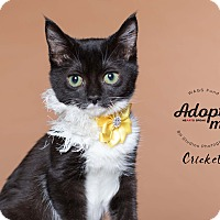 Adopt A Pet :: Cricket - Houston, TX
