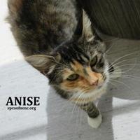 Adopt A Pet :: Anise - Elizabeth City, NC