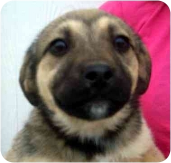 Shepherd (Unknown Type) Mix Puppy for adoption in Chapel Hill, North Carolina - Darla