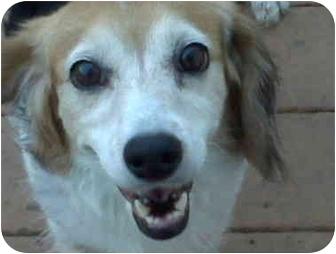 Beagle/Springer Spaniel Mix Dog for adoption in Indianapolis, Indiana - June Bug