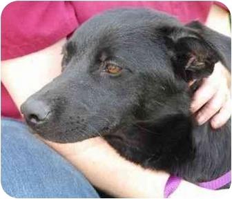 Labrador Retriever Mix Dog for adoption in San Diego, California - KAYLIE