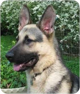 German Shepherd Dog Dog for adoption in Wayland, Massachusetts - Parker