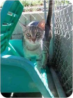 Domestic Shorthair Cat for adoption in El Cajon, California - Carnie