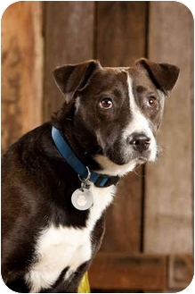 Border Collie/Labrador Retriever Mix Dog for adoption in Portland, Oregon - Ben