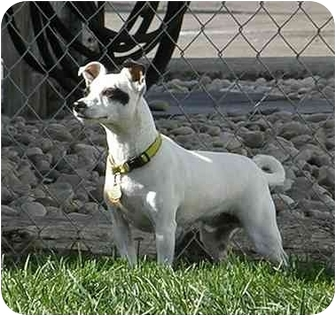 Jack Russell Terrier Mix Dog for adoption in Meridian, Idaho - Bandit #2