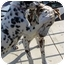 Photo 4 - Dalmatian Dog for adoption in Mandeville Canyon, California - Toffee