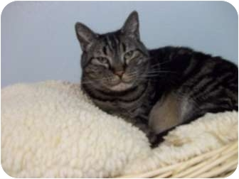 Domestic Shorthair Cat for adoption in Grants Pass, Oregon - Cleo