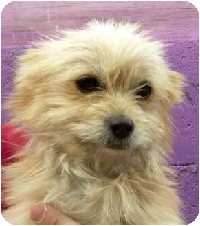 Cairn Terrier Mix Puppy for adoption in Rolling Hills Estates, California - Jonah
