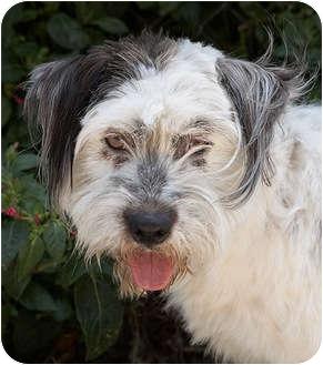 Terrier (Unknown Type, Medium)/English Sheepdog Mix Dog for adoption in Los Angeles, California - Toto von Tobler