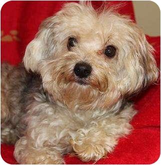 Yorkie, Yorkshire Terrier/Maltese Mix Dog for adoption in San Pedro, California - Dex