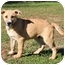Photo 2 - Shar Pei/German Shepherd Dog Mix Puppy for adoption in Allentown, Pennsylvania - Sleigh