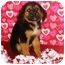 Photo 2 - German Shepherd Dog Mix Puppy for adoption in Oswego, Illinois - Raggedy Andy