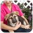 Photo 4 - German Shepherd Dog Puppy for adoption in Los Angeles, California - Mishka von Ryan's Puppies