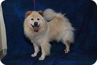 Chow Chow Dog for adoption in Tucker, Georgia - Princess