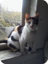 Calico Cat for adoption in Medford, New Jersey - Shena (Mom to Camden Kittens)