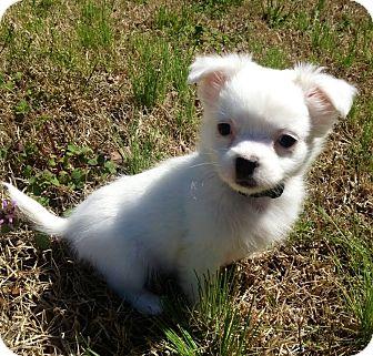 Shih Tzu Mix Puppy for adoption in Staunton, Virginia - Mavis