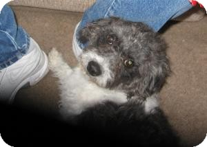 Miniature Poodle Mix Dog for adoption in Las Vegas, Nevada - Shamrock