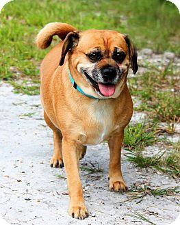 Pug/Beagle Mix Dog for adoption in Manahawkin, New Jersey - Kaylee